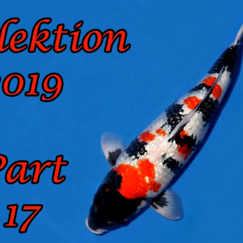 Japan-Koi-Selektion 2019 – Part 17