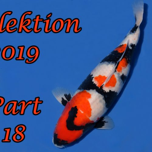 Japan-Koi-Selektion 2019 – Part 18