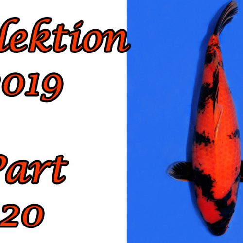 Japan-Koi-Selektion 2019 – Part 20