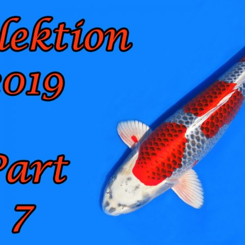 Japan-Koi-Selektion 2019 – Part 7