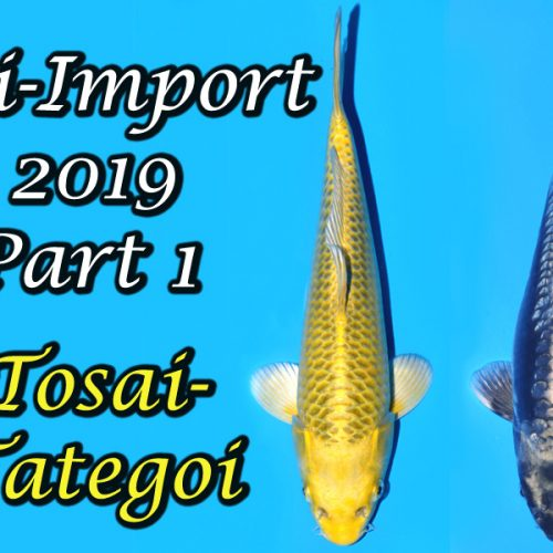 Tosai Tategoi Koi-Import 2019 Part 1