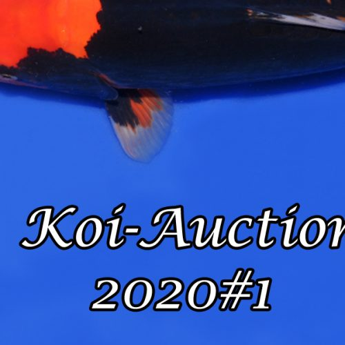 Koi-Auction 2020#1