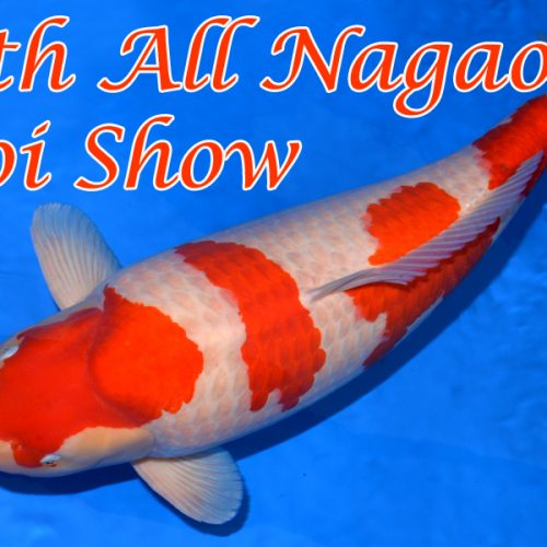 66th All Nagaoka Koi Show #8