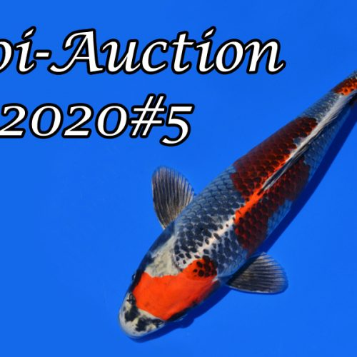 Koi-Auction 2020 #5